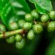 Las propiedades adelgazantes del café verde